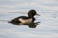 Tufted Duck (Pabs777) Tags: nikond500 nikon d500 nikonafs200500mmf56evr tufted duck animal bird birds nature wildlife newmillerdam wakefield uk 2016 animalplanet