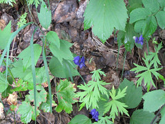 LibertyFalls04 (alicia.garbelman) Tags: alaska libertyfallsstaterecreationarea wildflowers monkshood