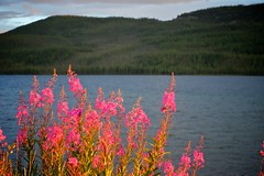 A Windy Sunset Shot (MIKOFOX  Show Your EXIF!) Tags: canada bigfoxlake lake fujifilmxt1 yukon water flowers wildflowers july landscape xt1 colorpink showyourexif mikofox summer xf18135mmf3556rlmoiswr