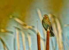 Red-winged Blackbird (robinlamb1) Tags: bird animal fauna outdoor cattails marsh ladner bc redwingedblackbird blackbird