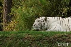 Tigre blanc - Zoo La Fleche - 20160817 (0931) (laurent lhermet) Tags: sel55210 zoo zoodelafleche tigre tigreblanc