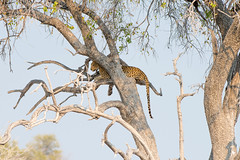 DSC_4383.JPG (manuel.schellenberg) Tags: namibia etosha animal nationalpark leopard