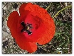 Turgano (Segovia) amapola2 (ferlomu) Tags: ferlomu turegano segovia flor flower amapola