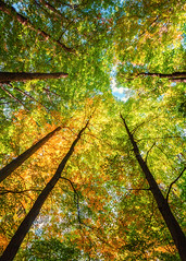 Radial Forest (Bobby Palosaari) Tags: canopy foliage forest green high hope leaves nature optimism outdoor perspective skyward sunlight tall tapestry tree upward vertical