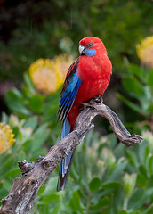 Crimson Rosella in Rain 2 (caralan393) Tags: birds rosella rain crimson red