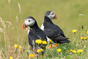 Puffin couple (tr1307) Tags: 2016 puffin bird vogel papageientaucher island iceland animal tier