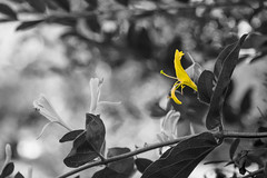 B&W Honeysuckle (marshallross) Tags: bw blackandwhite mono monochrome flower colorselection honeysuckle beautiful plant mothernature