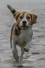 Teddy free on Woolacombe beach (frankshepherd2) Tags: leap beach animal pet dog hounddog hound beagle