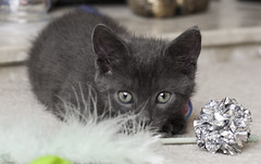 Simi 5 (sarahhickspics) Tags: kitten grey playful soft cute cat
