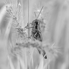 Grasshopper Heaven (dshoning) Tags: grasshopper highkey weeds grass blackandwhite bug insect september