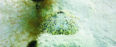 Calappa (MaKuriwa) Tags: crustaceos