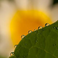 ochtenddauw - morning dew (de_frakke) Tags: morningdew dew dauw bloem druppels droplets macro flower