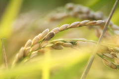 Harvest in the Air (jasohill) Tags: bokeh color nature grain 2016 iwate rice macro hachimantai photography life paddies green autumn food japan staple