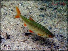 En ganske fin fisk - optaget i sit naturlige element.
