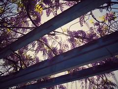 Remembering Spring (Jon-Fū, the写真machine) Tags: jonfu 2016 olympus omd em5markii em5ii em5mkii em5mk2 em5mark2 オリンパス mirrorless mirrorlesscamera microfourthirds micro43 m43 mft μft マイクロフォーサーズ ミラーレスカメラ ミラーレス一眼カメラ ミラーレス機 outdoors 野外 nature 自然 flower flowers 花 華 plant plants 植物 flora