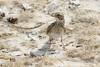 Pink-billed Lark (Linda Bushman) Tags: namibia etosha spizocorysconirostris
