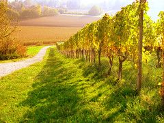 sunny afternoon (gingerbreadfan) Tags: autumn fall field way vineyard vine sunny