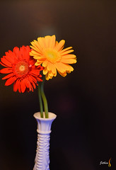 Just For You (wisenimbus) Tags: flowers red flower color nature yellow nikon gerbera nikond5100