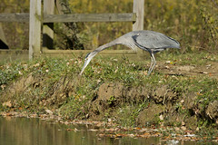 GREAT BLUE HERON - FISHING AT THE YOUTH POND (nsxbirder) Tags: ohio greatblueheron ardeaherodias harveysburg
