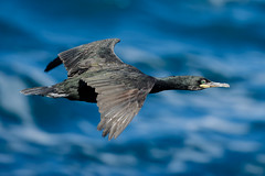 European Shag (Gudmann) Tags: game bird nature birds animal animals fauna is iceland europe wildlife aves environment fowl fugl fugler avis europeanshag phalacrocoraxaristotelis fuglar skarfar toppskarfur