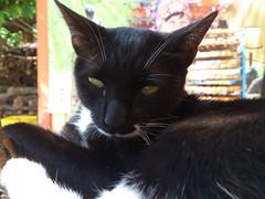 CATs (ddsnet) Tags: cats cat ericsson sony sonyericsson hsinchu taiwan s neko persimmon         sinpu  hsinpu  xperia   lt26i xperias