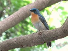 Tickell's Blue Flycatcher (sudheer_pandey) Tags: blue india birds canon powershot bhopal flycatcher tickells sx130 cyornis tickelliae