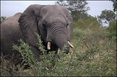 Dinner time  (~Ranveig Marie~) Tags: africa morning travel trees wild elephant tree nature animal fauna southafrica mammal eyes branch african wildlife teeth natur ears safari tropical vegetation stare trunk afrika shrub elefant za mammalia rsa kruger africanelephant limpopo tusk savanna bigfive gamedrive big5 gamereserve savanne tropisk snabel elephantidae thebigfive thebig5 srafrika afrikansk klaserie pattedyr klaseriegamereserve greaterkruger nthambo highqualityanimals nthambotreecamp de5store defemstore stttenner stttann