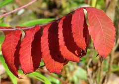 Sumac in the Sun (Under the same moon...) Tags: red leaves sunshine shadows patterns newhampshire sumac sharp fallfoliage