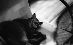 A sleepy Cat (Hiroyasu Hosoya) Tags: leica analog thailand kodak 400tx phuket patong m6