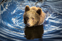Baby bear (CecilieSonstebyPhotography) Tags: bear blue brown water canon bjørn bamse brownbear bearpark carate ef70200mmf4lisusm bjørneparken canoneos60d