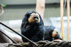 Monkey (sylvester-ch) Tags: wild brown black animal animals zoo monkey tiere eyes essen nikon flickr basel braun augen nikkor schwarz eath tier d800 affe 70200mm28 nikond800