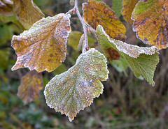 Hazel, Corylus avellana, after the first frost.191106 (Drinker Moth) Tags: autumn winter cold ice leaves frost december autumnleaves frostymorning wintermorning firstfrost frostyleaves