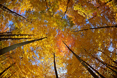 Autumn's Canopy (HFoxphoto) Tags: ohio woods fallcolors fallfoliage fisheyelens changingleaves autumnscenes autumn2012