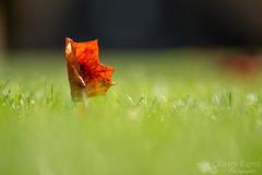 Un voilier dans le gazon (Olivier Rapin) Tags: orange automne sony sigma vert alpha f28 herbe feuille 70200mm 580 gazon
