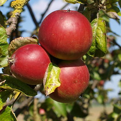 Atumn colors of Apple fruits. (Bienenwabe) Tags: apple apfel malus rosaceae malusdomestica