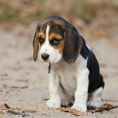 The lot to learn look of a 8 weeks young Beagle (Hans Surfer (where the action is)) Tags: beagle puppy learn 8weeks natureselegantshots panoramafotogrfico coth5 mygearandme mygearandmepremium mygearandmebronze mygearandmesilver mygearandm