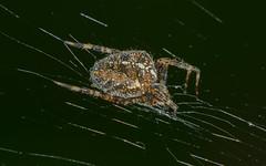 Bejewelled spider (Mister Electron) Tags: macro spider dewdrops nikon web dew gardenspider spidersilk reversingring extensiontubes nikond800 50mmf28elnikkor arcahnid