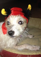 Devil in disguise (peachy92) Tags: family atlanta dog home dogs halloween moblog georgia cobb moblogging atlantaga atlantageorgia iphone cobbcounty puppup myapartmentcomplex cobbcountygeorgia cobbcountyga iphonegraphy iphoneography cameraplus iphone4s halloween2012