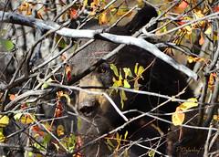 Blending in (P. Oglesby) Tags: bear autumn black grandtetonnationalpark thehighlander godlovesyou