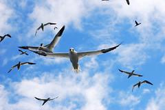 Nel Cielo (Wrinzo) Tags: ocean sea sky bird birds scotland mare uccelli cielo shetland seabird gannet sula uccello scozia morusbassanus sulabassana uccellomarino isoleshetland uceanoatlantico