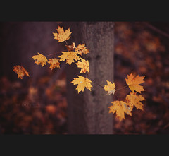46:50 We Fall Together (Will (Certified Ninja)) Tags: autumn tree fall leaves yellow canon woods bokeh bark ef50mmf14usm project50 5dmarkii wwwwillstewardphotographycom