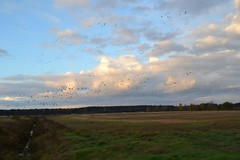 Geese Flying in Estonia