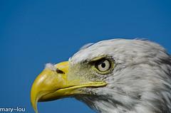 _DSC8536 (mary~lou) Tags: blue sky bird eye yellow nikon eagle head beak birdofprey maryfletcher 15challengeswinner againstabluesky mary~lou