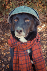 Sherlock Hound (RileyMai) Tags: autumn dog fall halloween costume mutt sherlockholmes finn sherlockhound dogincostume karelianbeardogbordercollie