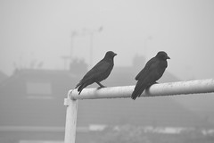 The Twa Corbies (Electra_star) Tags: two white black nature fog crows