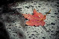 Red Leaf Raindrops & Glass (Orbmiser) Tags: autumn red fall glass rain oregon portland leaf maple nikon raindrops showers d90 55200vr