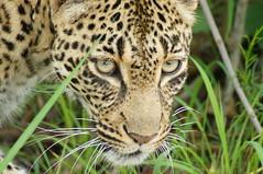 Leopard (tim ellis) Tags: holiday animal cat southafrica leopard spotted carnivore kruger pantherapardus sabisands justcats mshbest sabisandsgamereserve nkorhobushlodge msh0613 wabayiza msh061312 mshbest5