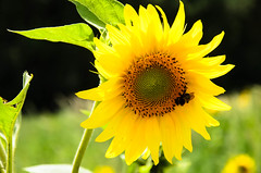 "Sunflower in Provence • <a style=""font-size:0.8em;"" href=""https://www.flickr.com/photos/21540187@N07/8145561965/"" target=""_blank"">View on Flickr</a>"