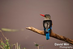 Lake Manyara, Tanzania - Male Grey-Headed Kingfisher (GlobeTrotter 2000) Tags: africa park travel lake male bird tourism animals tanzania grey wildlife lion visit safari ngorongoro national crater kingfisher zebra giraffe savannah arusha headed manyara tarangire zebras