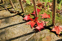 Story about time goes by (Singer ) Tags: light shadow red composition moss maple time taiwan memory taipei railing withered                     singer singer186